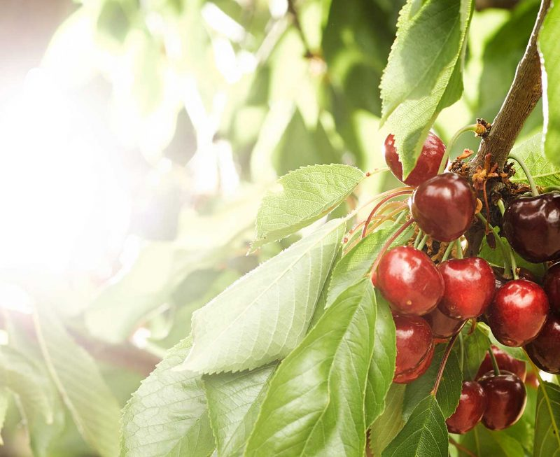 Cherries. Grupo Venso. Agroven International.